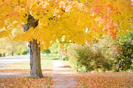 yellow leaves on trees